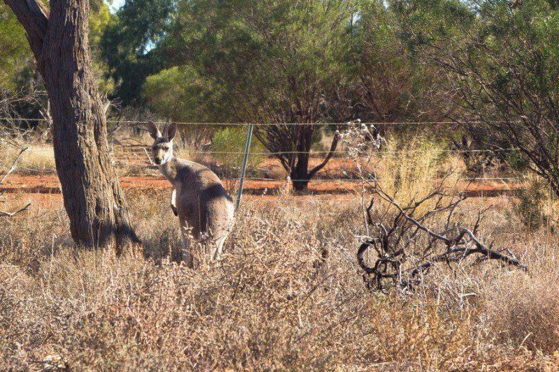 Cobar, Kangaroo, Outback Australia Road Trip