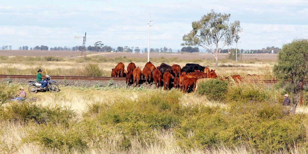 Herding cattle near Narrabri, NSW Australia
