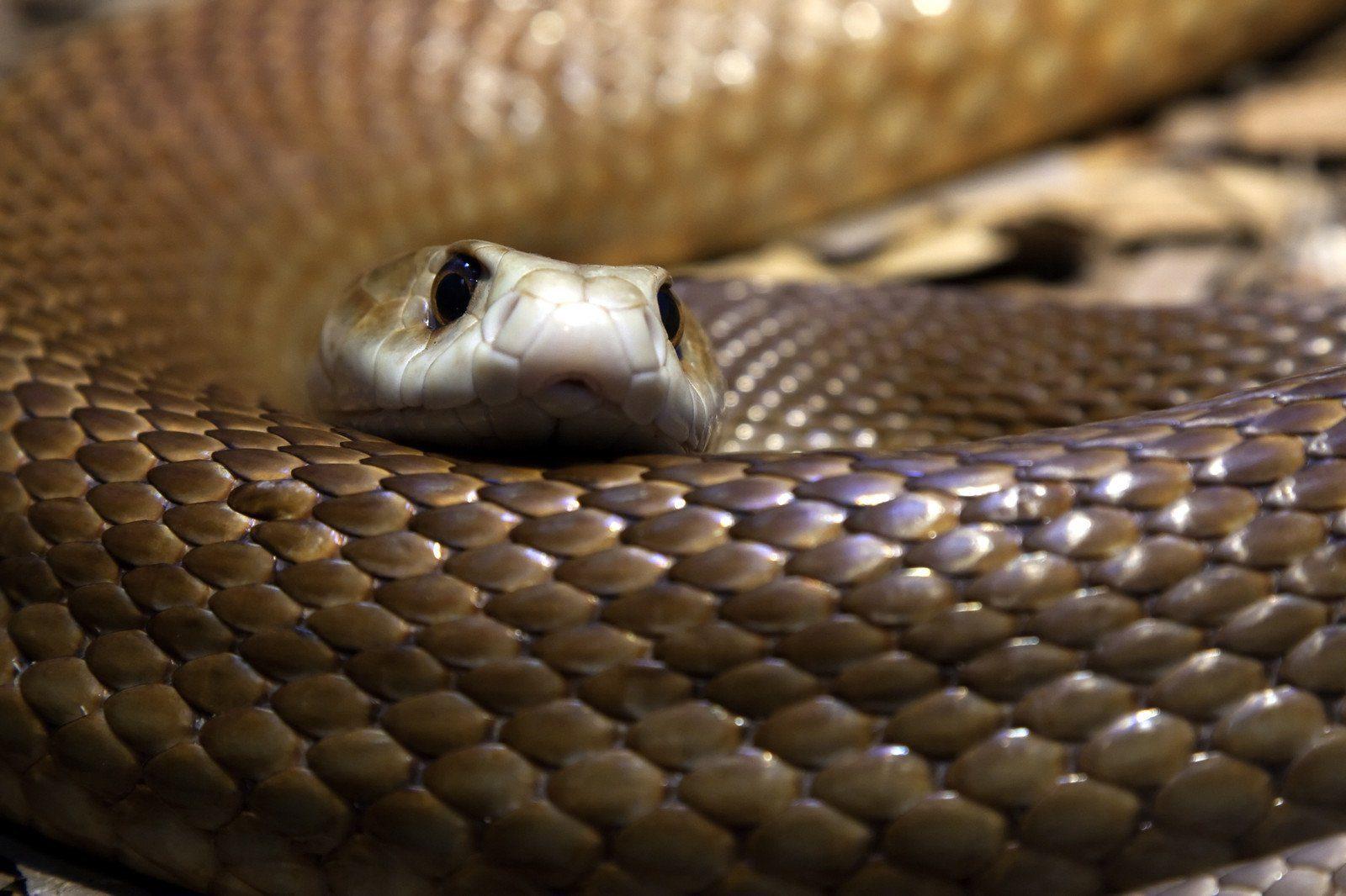 Taipan Snake, Australia