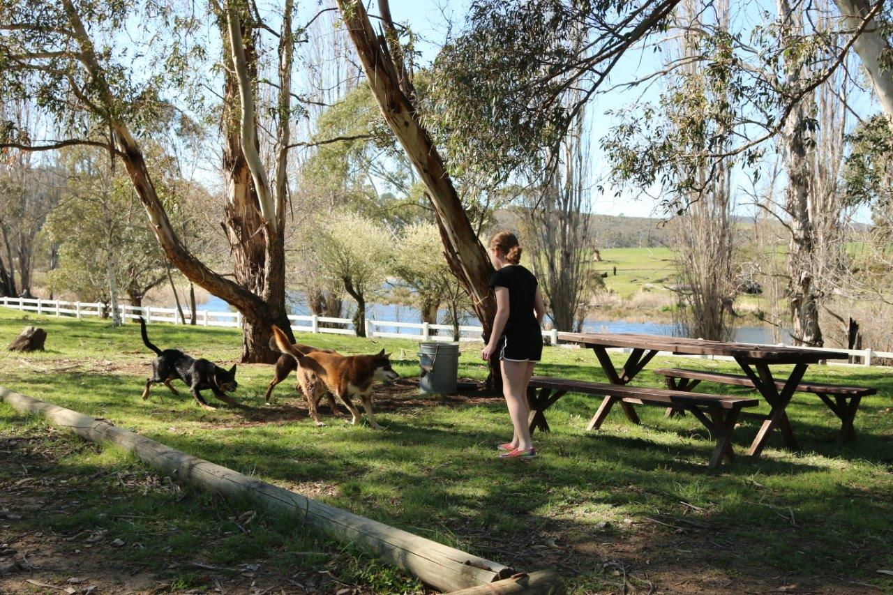 Playing With the Dogs at Snowy River Cabins near Jindabyne Australia