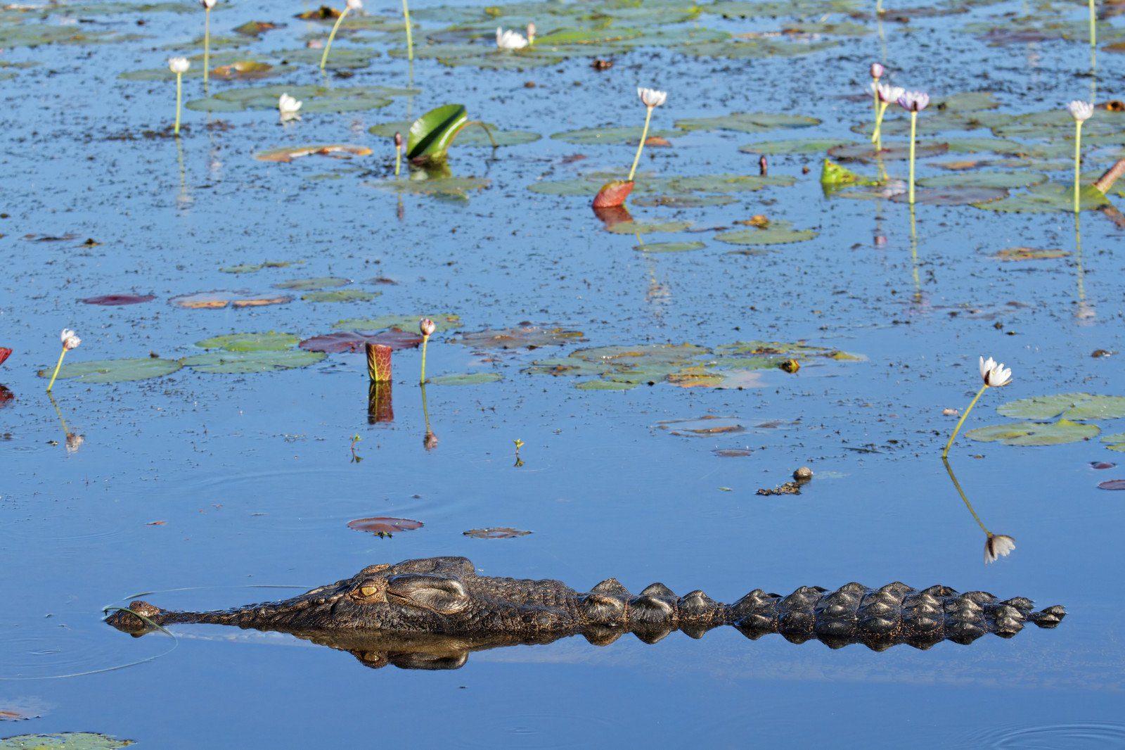 A crocodile lurks in Yellow Water Billabong in Kakadu National Park