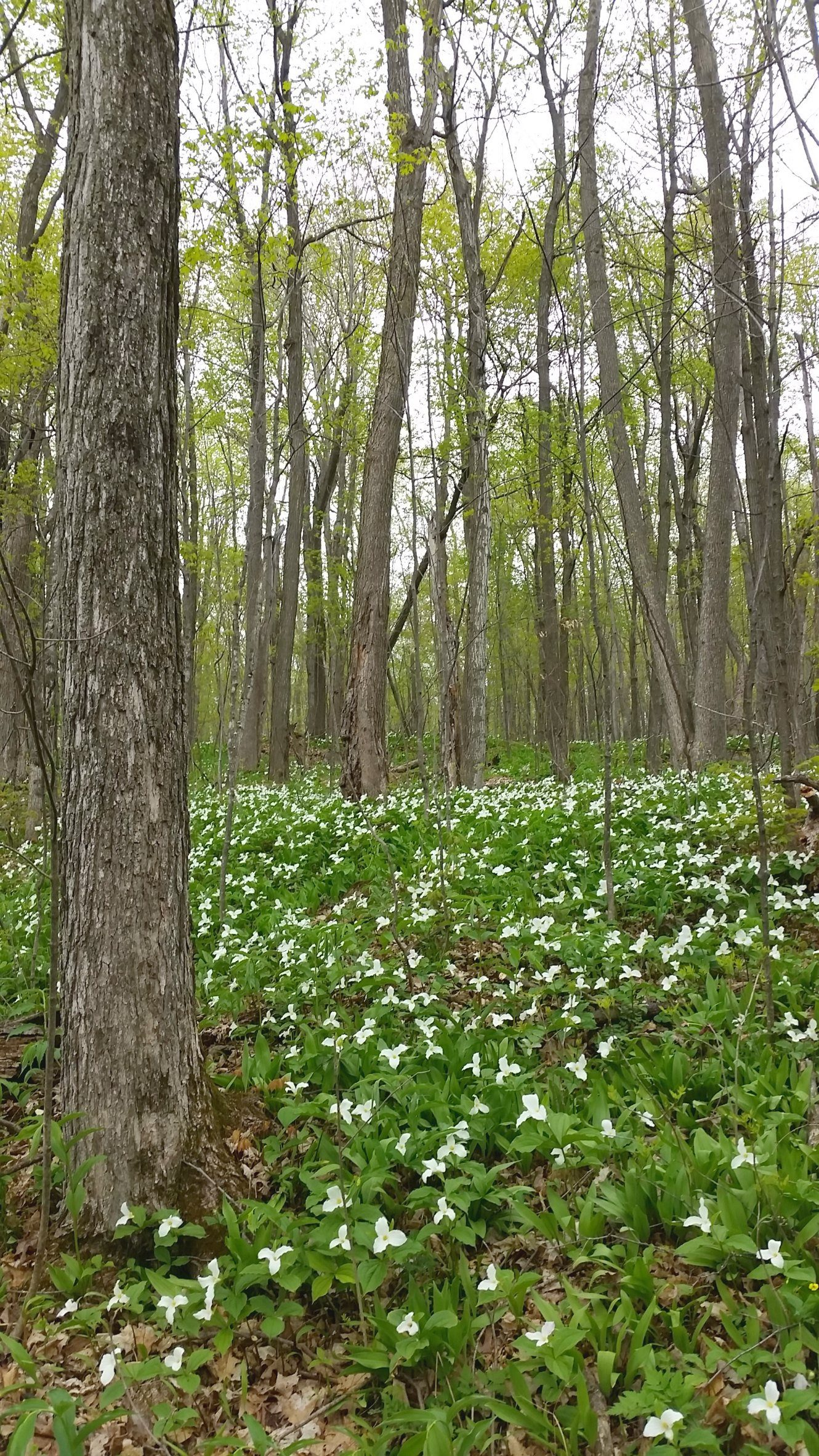 Lovely trilliums in bloom along the Lauriault Trail in Gatineau Park, Canada