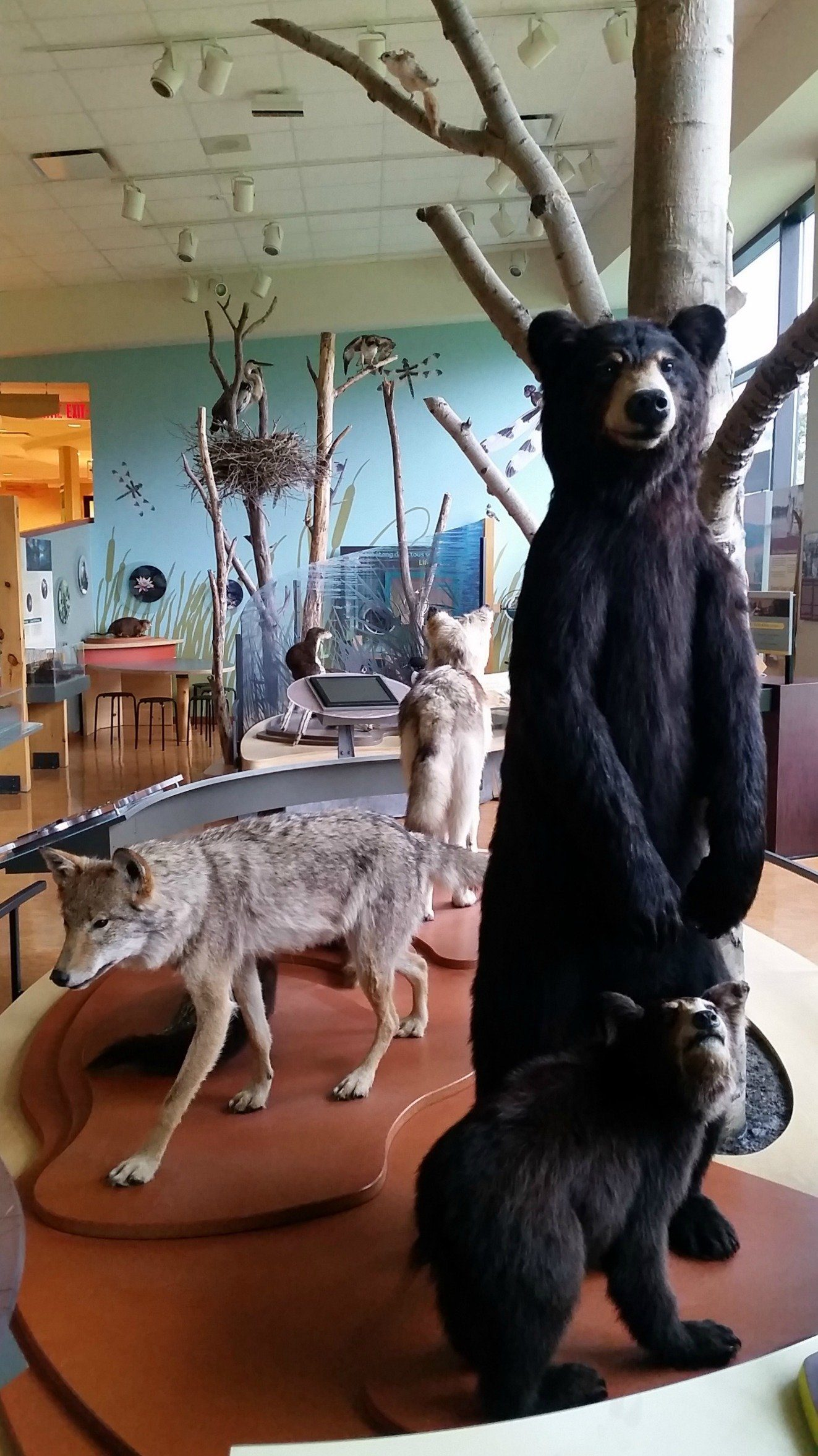 The local wildlife display in the Gatineau Park Visitor Center in Chelsea, Canada