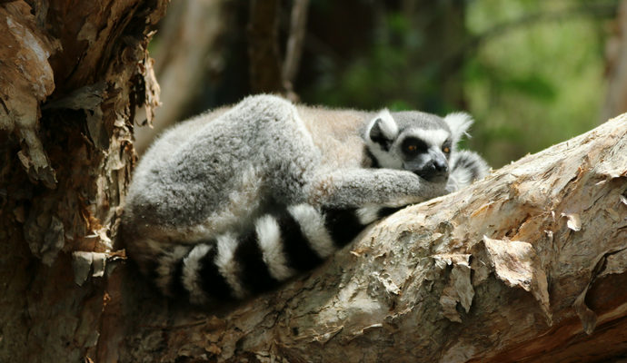 Australia Zoo - Lemur Resting