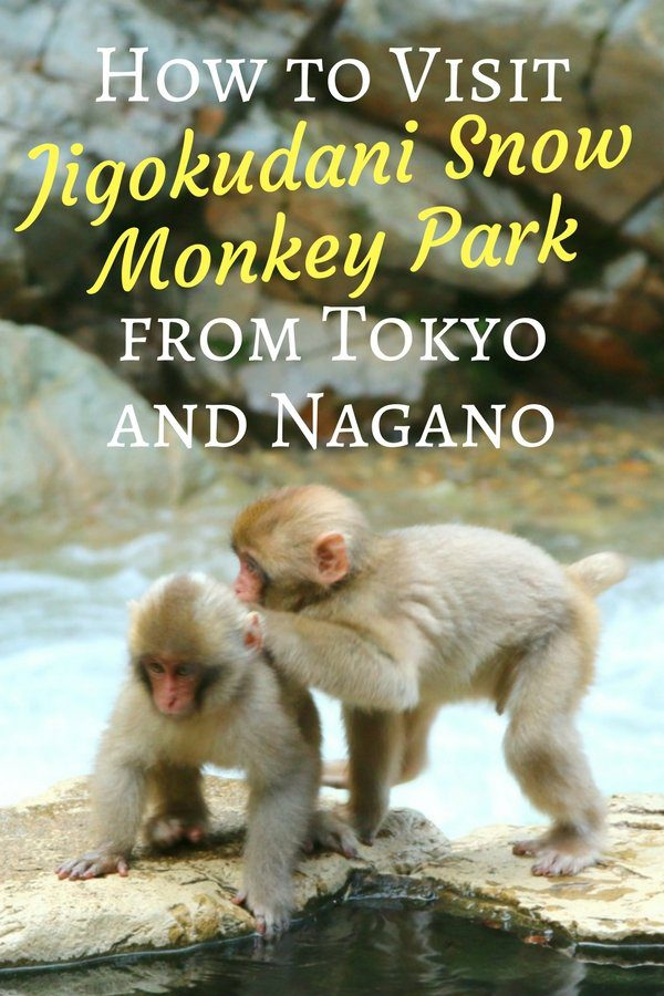 How to Visit Jigokudani Snow Monkey Park from Tokyo and Nagano - Pinterest