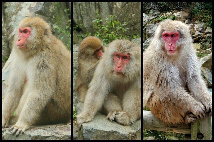 Snow Monkey in Jigokudani Monkey Park