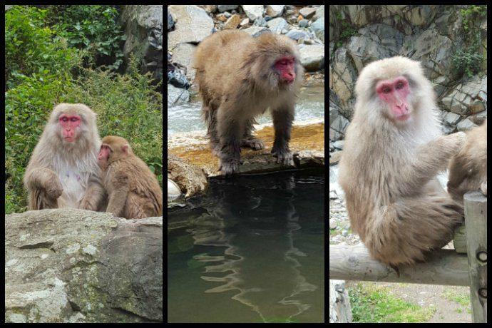 Snow Monkeys in Jigokudani Monkey Park