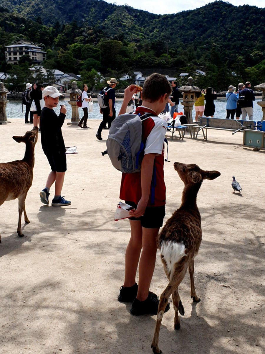 Friendly - Hungry Deer on Miyajima Island