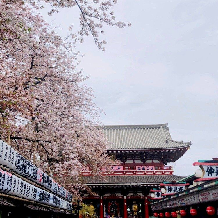 Asakusa Cherry Blossoms at Sensoji Temple by Get Out With Kids