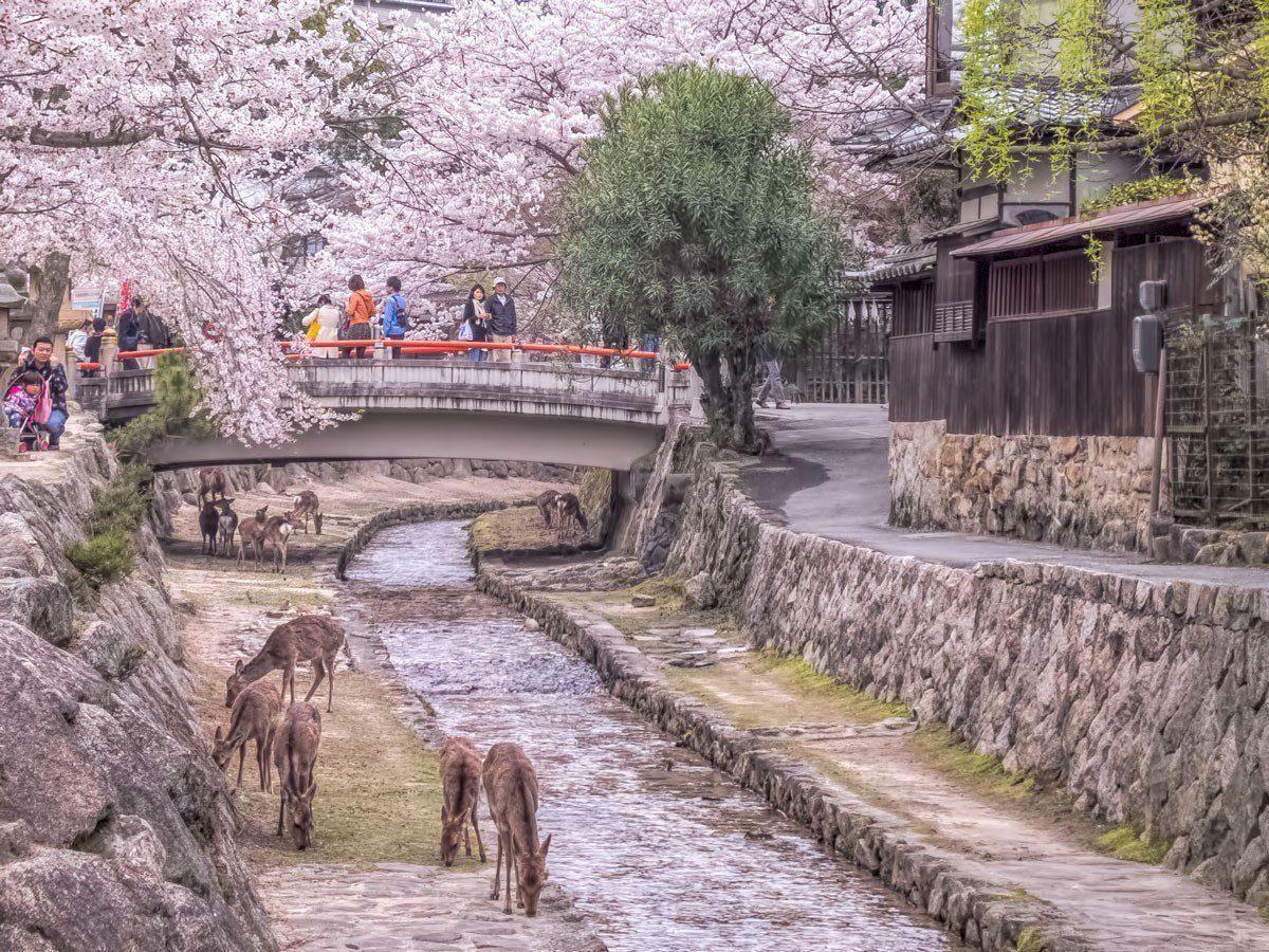 Miyajima Island during the Sakura Season by 2 Aussie Travellers