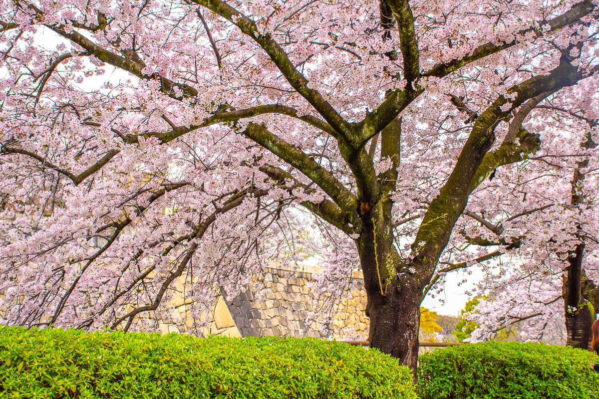 Osaka Castle Cherry Blossoms by the Swedish Nomad