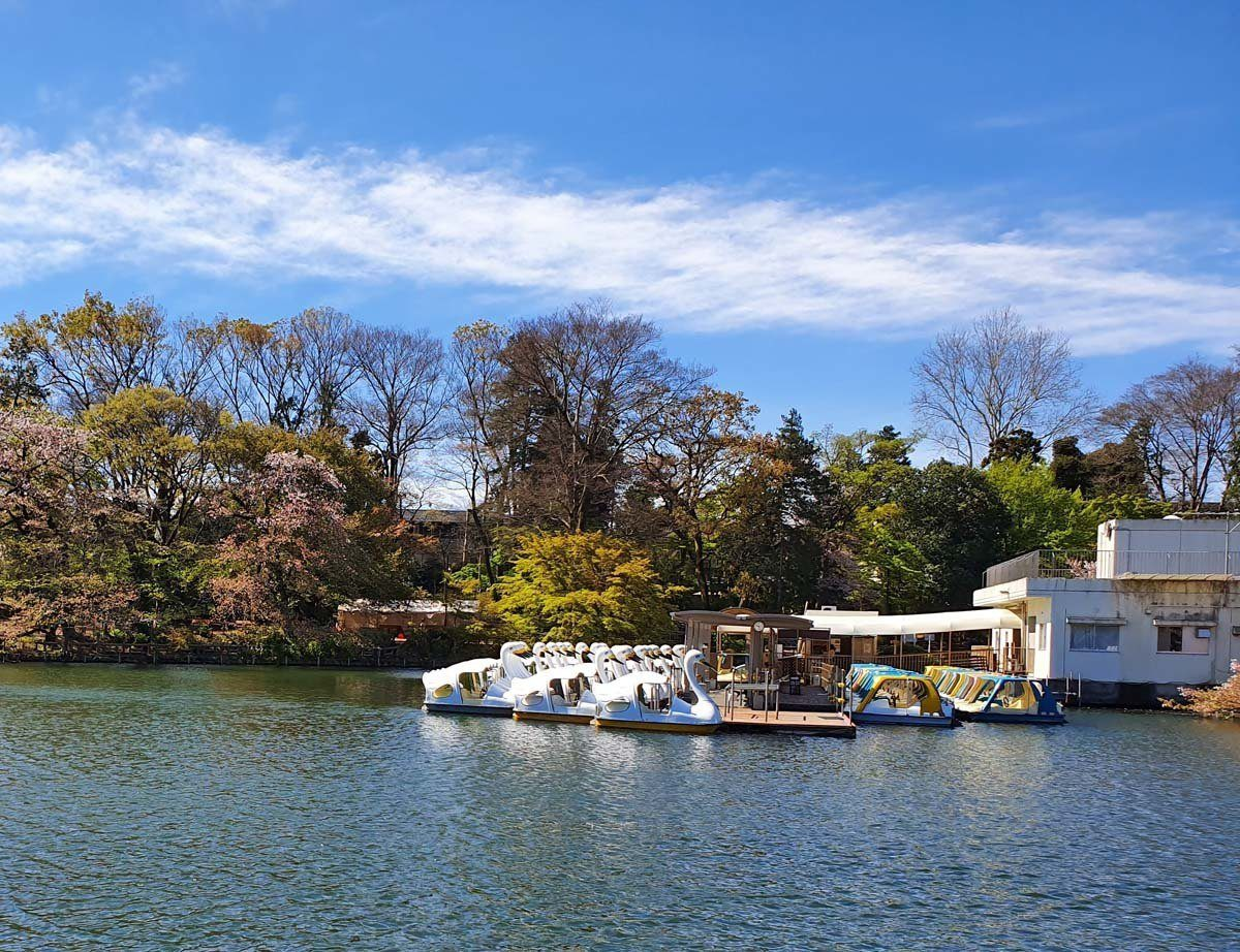Swan and Paddle Boats on Inokoshira Pond